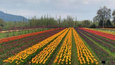Kashmir Tulip Festival 2021 Dates:कश्मीरच्या श्रीनगर मधील Indira Gandhi Memorial Tulip Garden मध्ये रंगणार्या ट्युलिप फेस्टिवल च्या यंदाच्या तारखा आणि ट्रॅव्हल टीप्स